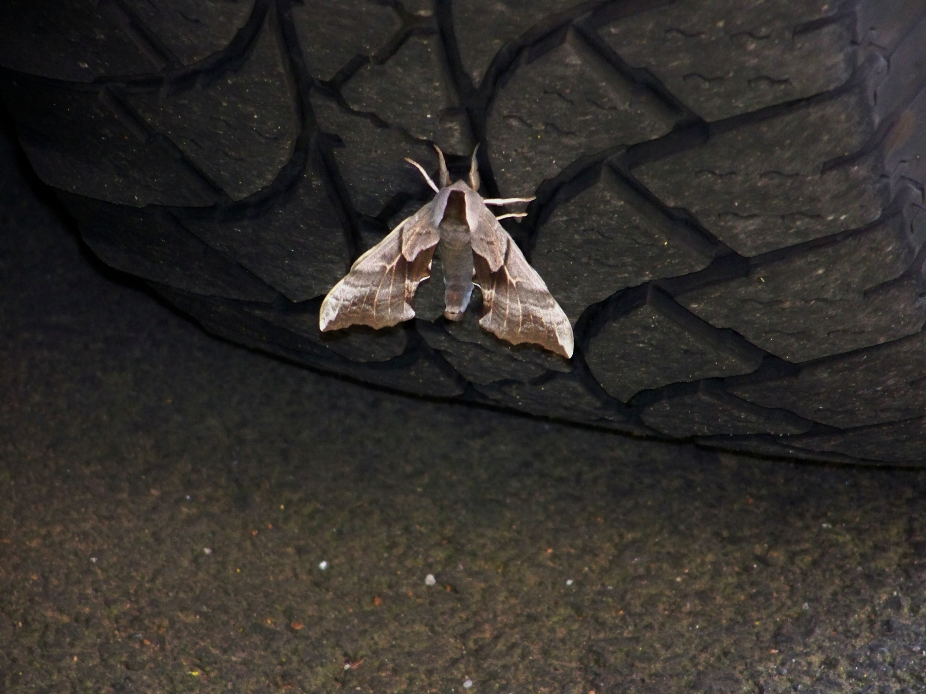 Unknown Moth Image 1