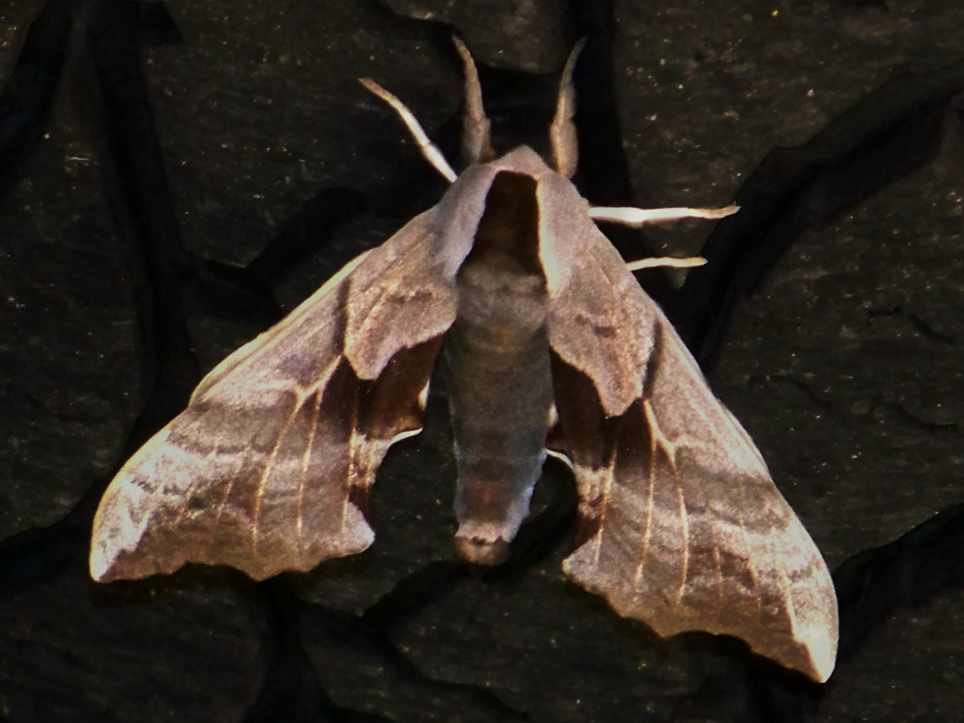 Unknown Moth Image 2