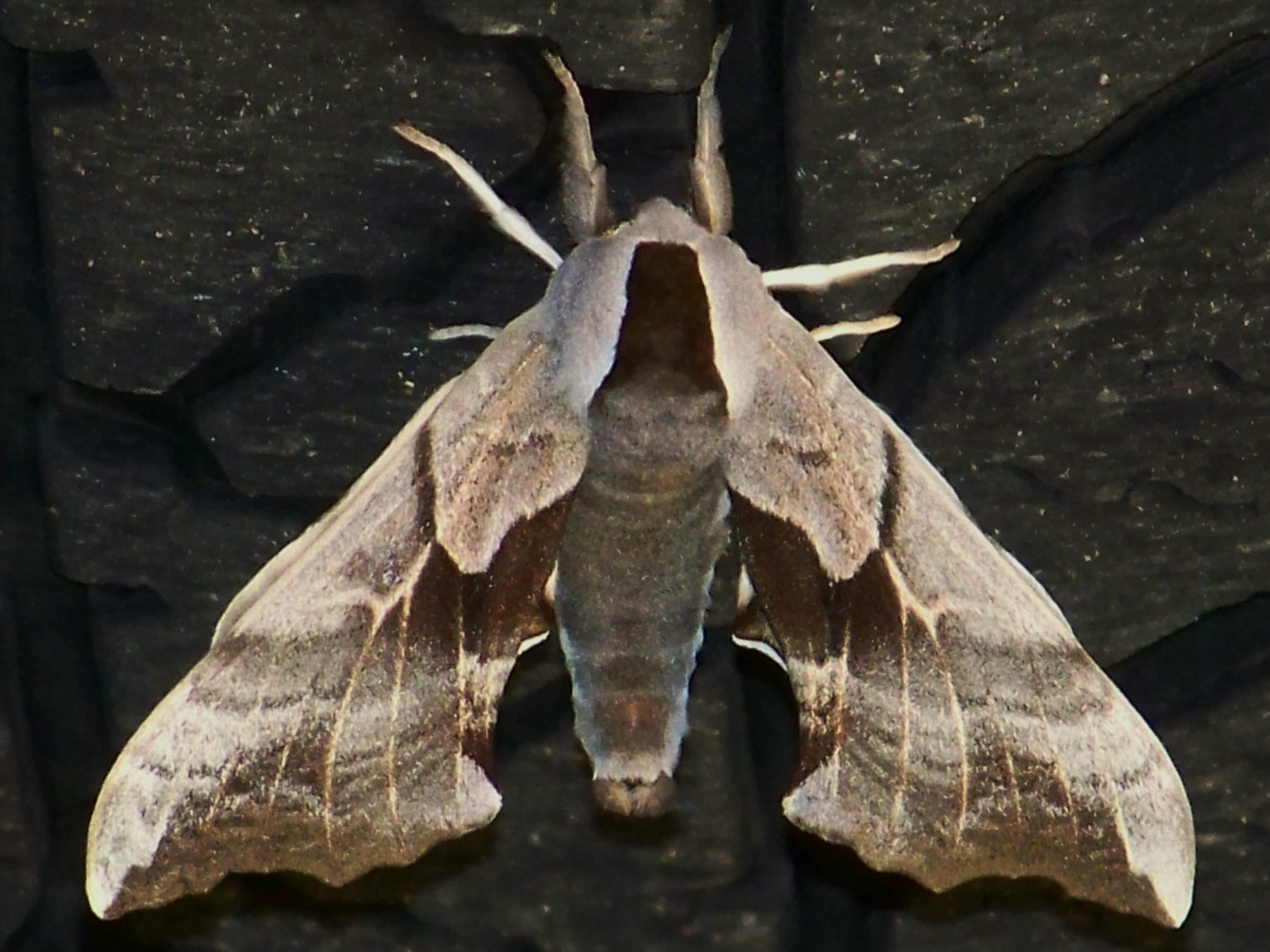 Unknown Moth Image 3