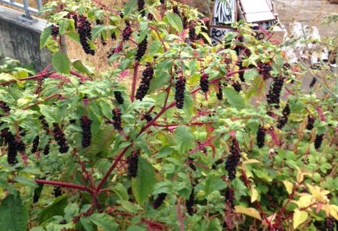 Pokeweed in lot