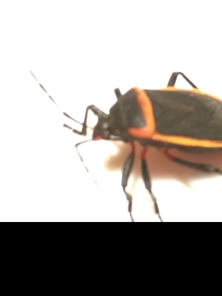 Bug. Not boxelder bug.