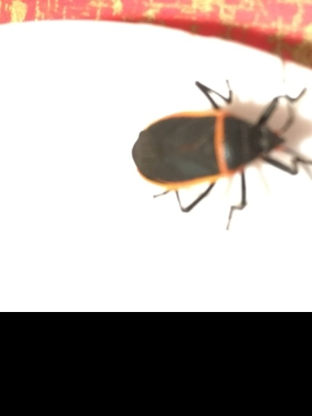 Bug. Not boxelder bug