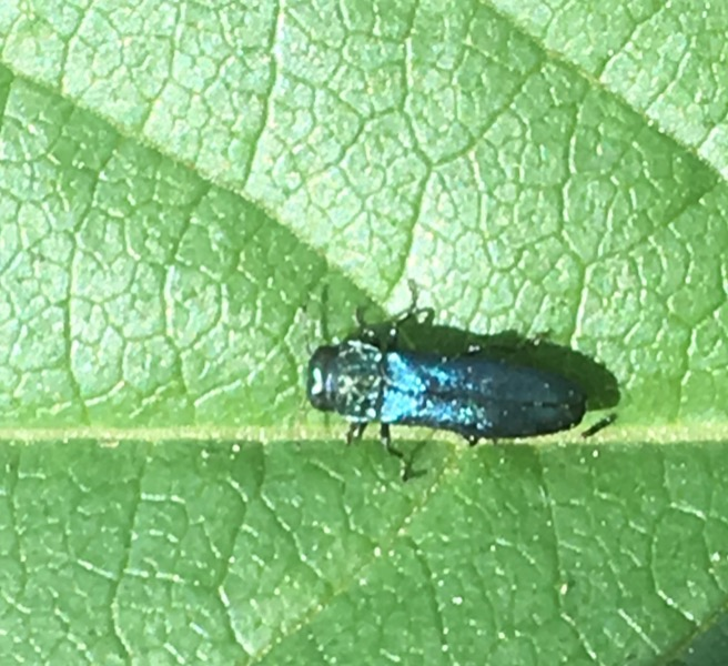 On twinberry leaf