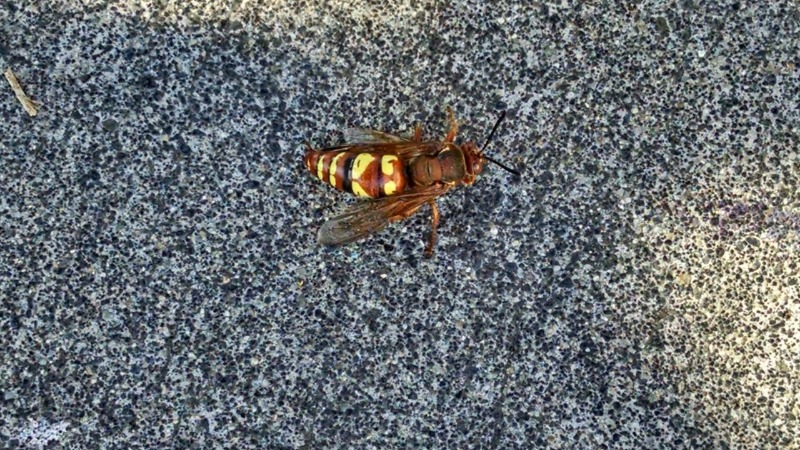 Possible Japanese Hornet Sighting